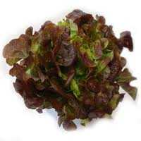 Lettuce-red-oak